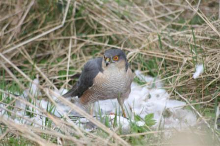 Baby sparrow hawk - photo#34